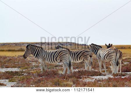 Herd Of Zebra In African Bush
