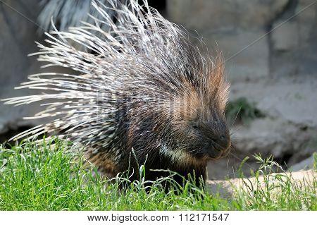 Porcupine On Grass
