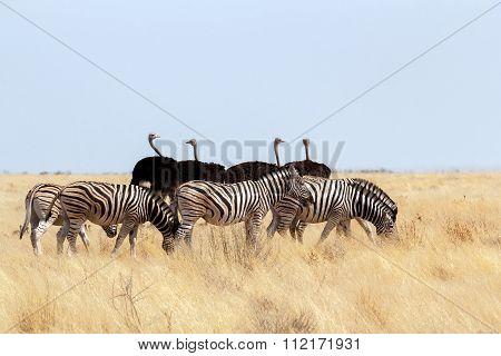 Herd Of Zebra And Ostrich In African Bush