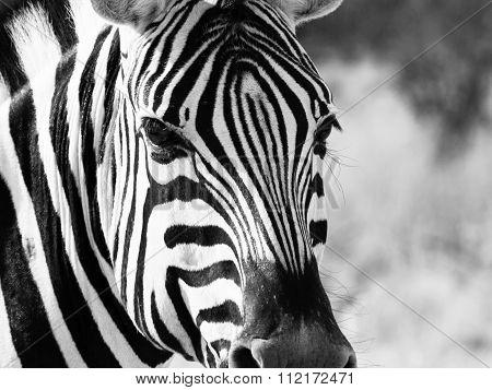 Close up head of zebra