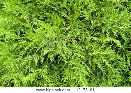 The Image Shows A Green Thuja