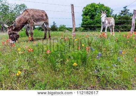 A Donkey In Texas Field Of Wildflowers