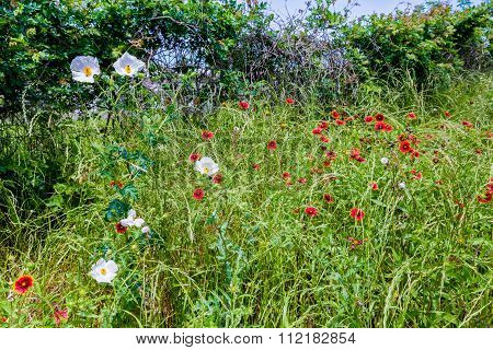 Texas Field Of Wildflowers Such As Indian Blanket