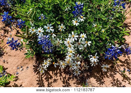 A Few White Blackfoot Daisies With Bluebonnet Wildflowers In Texas