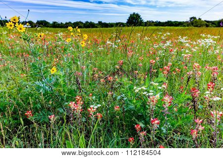Orange Indian Paintbrush Wildflowers In A Texas Field