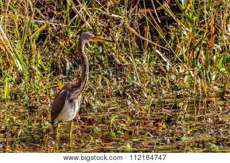 A Juevenile Tricolored Heron