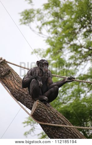Chimpanzee Sitting On A Stem With Ropes