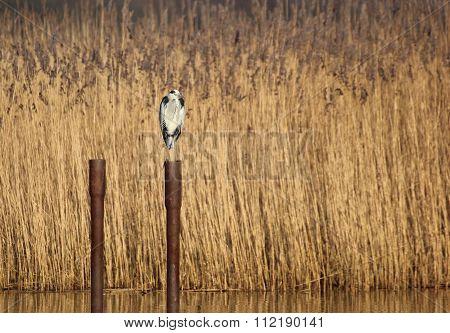 Gray Heron (ardea Cinerea) Sitting On A Pole In The Water
