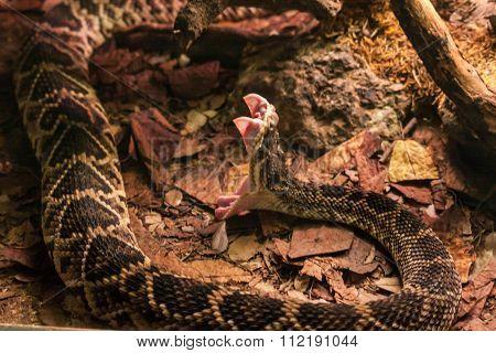 Rattlesnake, Venom fangs