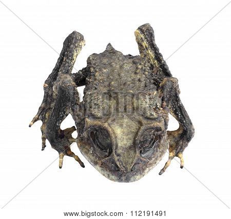 Mummified Toad