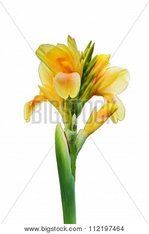 Yellowcanna Flower (canna Indica) In Isolated Background