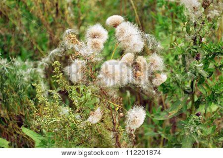 A Perennial Herb Of Bur