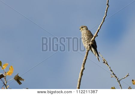 Merlin Falcon Perched In An Autumn Tree