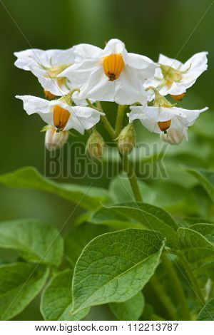 Potato Flowers In The Garden
