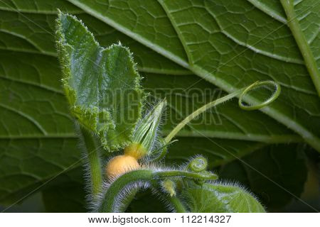 Bud Of Pumpkin Flower In The Garden