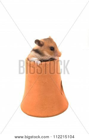 Hamster (syrian Hamster) In Clay Pot On White Background