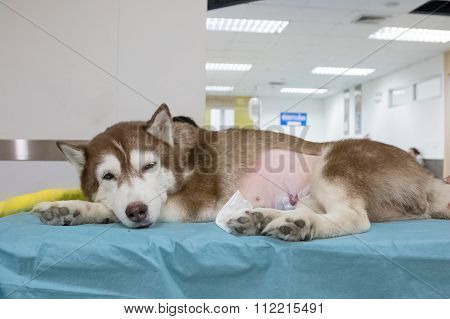 Sick Siberian Husky At Veterinary Hospital