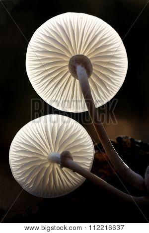 Two porcelain fungus