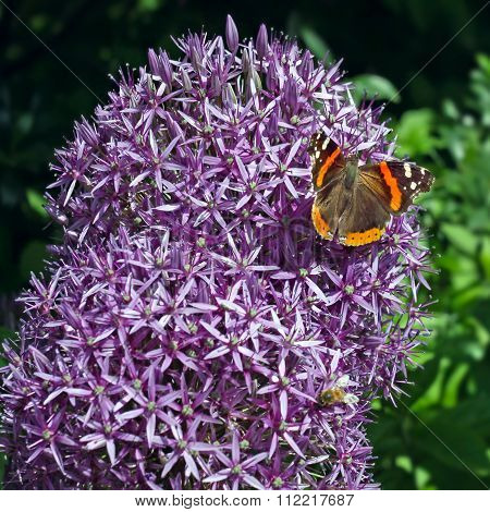 Purple Onion Flowers With Butterfly.