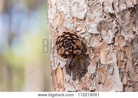 New Pine Seed