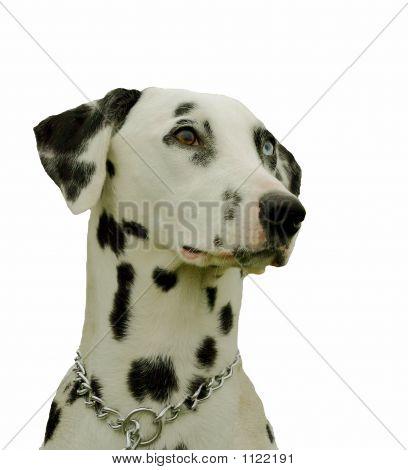 Detoured Dalmatian
