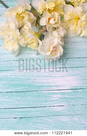 Yellow Narcissus Flowers On Turquoise Painted Wooden Planks.