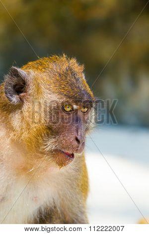 Monkey on the beach, Karon beach, Phuket, Tailand