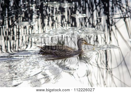 Wild Duck Swimming In A Water