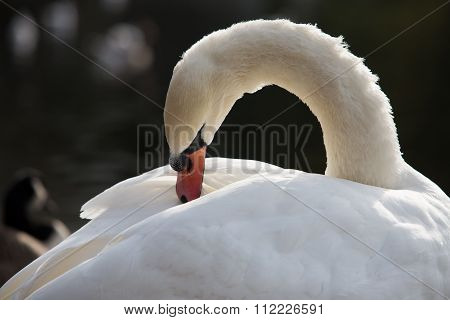 Swan In Sunny Day, Swans On Pond Close Up