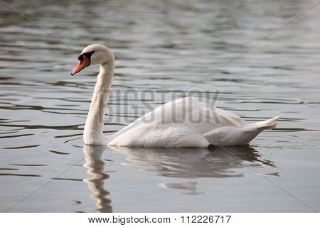 Swan In Sunny Day, Swans On Pond