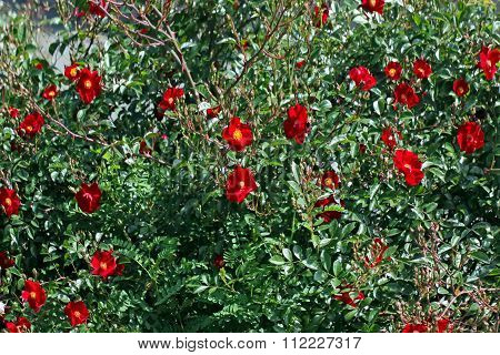 Bush Of The Blossoming Dogrose