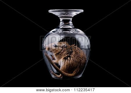 mouse in a glass, isolated black