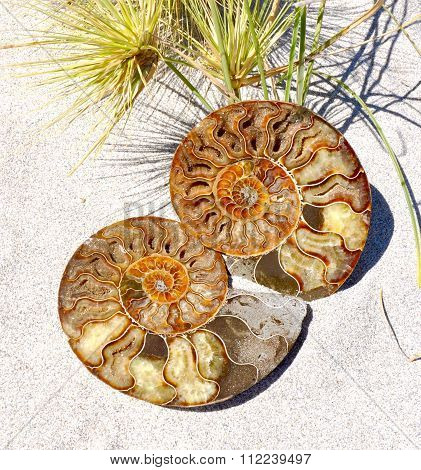 Ammonite Halves