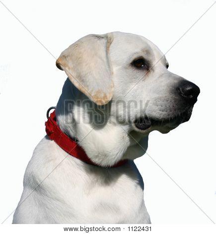 Detoured Labrador