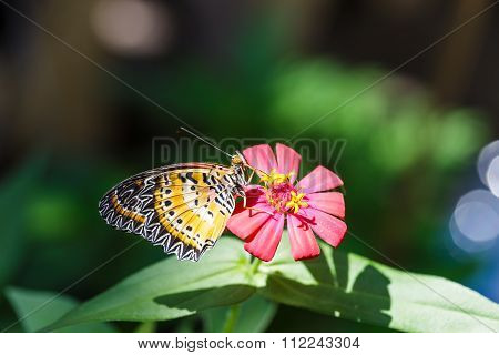 Male Leopard Lacewing (cethosia Cyane Euanthes) Butterfly
