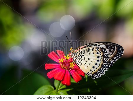 Female Leopard Lacewing (cethosia Cyane Euanthes) Butterfly On Flower