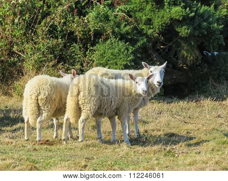 Herd of sheep on a pasture