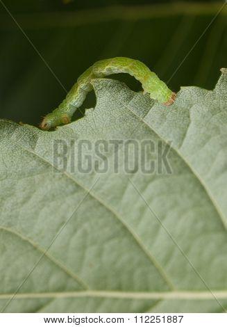 Inchworm On Birch Leaf