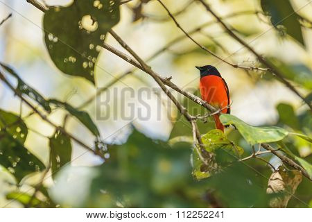 A Male Of Scarlet Minivet Perching On A Branch