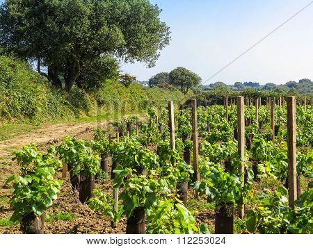 Vineyard on the Sark Island