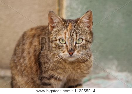 Grey cat closeup