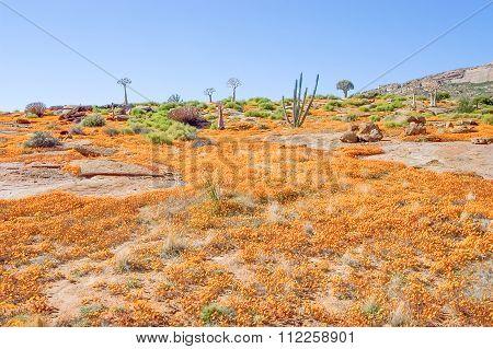 Orange Daisies In Nababeep