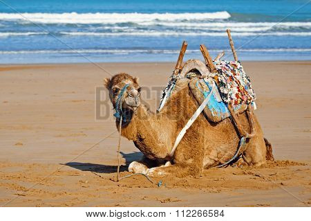 Dromedary In The Saddle Lying On The Sand, Morocco