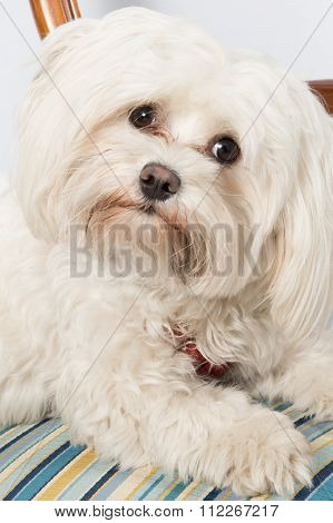 Maltese Dog Sitting, Looking At The Camera On A Chair At The House