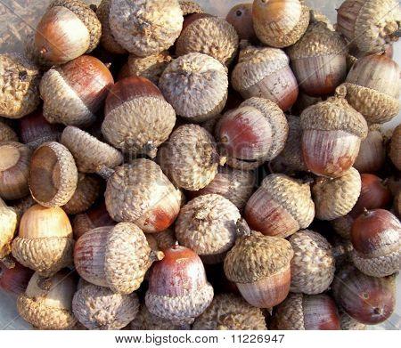 Close-up Red Oak Acorns