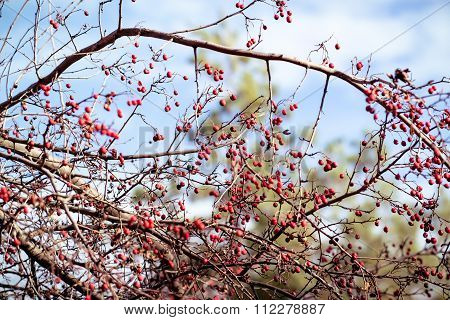 dogrose berries on branches