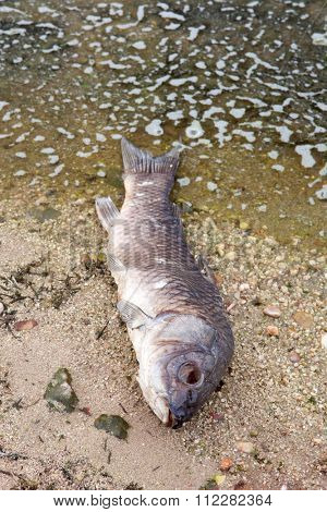 Dead fish on the shore of a lake because the contamination