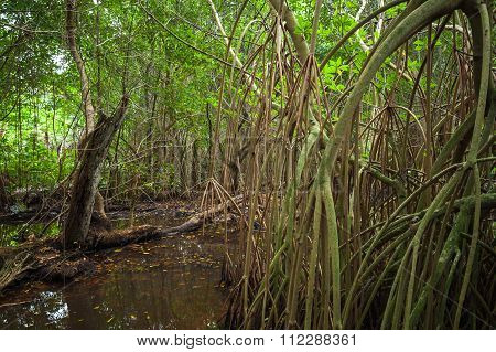 Forest Landscape With Mangrove Trees In Water