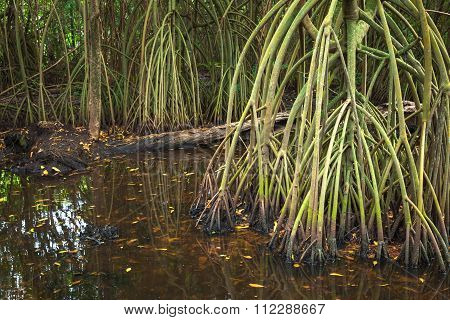 Rainforest Landscape, Mangrove Trees In Water
