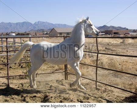 Prancing White Horse